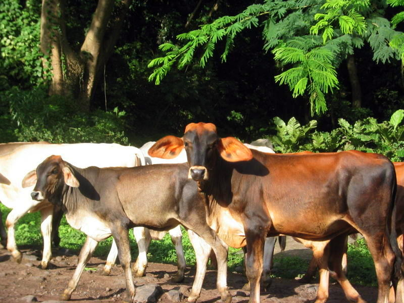 A herd of cattle crossing the street on Ometempe Island