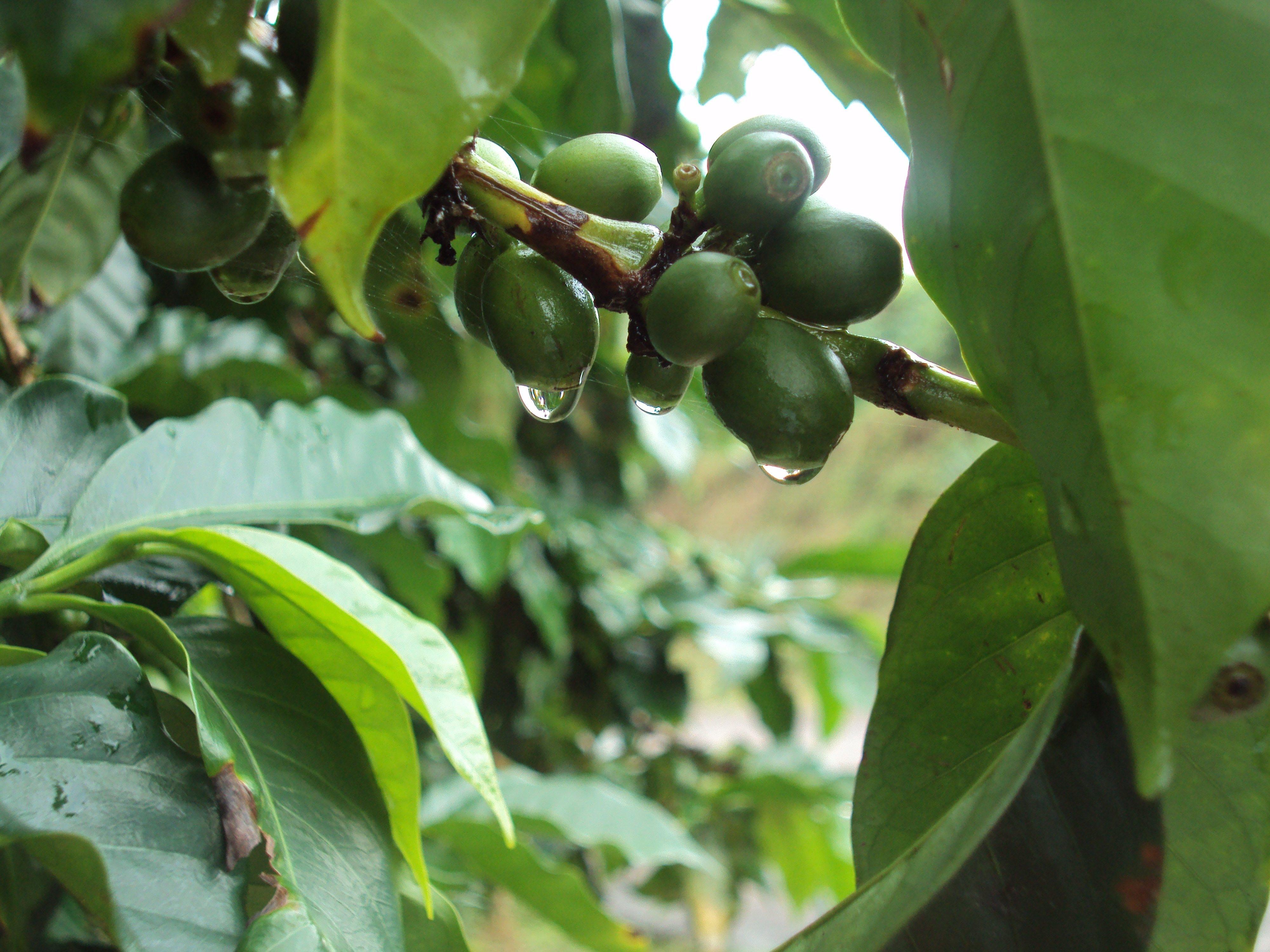 Classic Costa Rican green coffee berries.