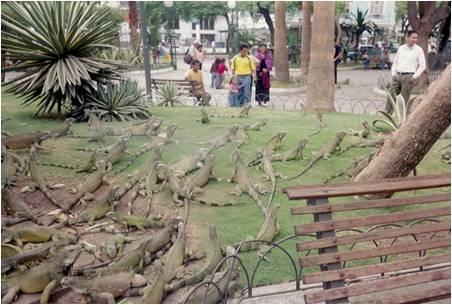 Iguana Park, from Maureen's Ecuador travels.