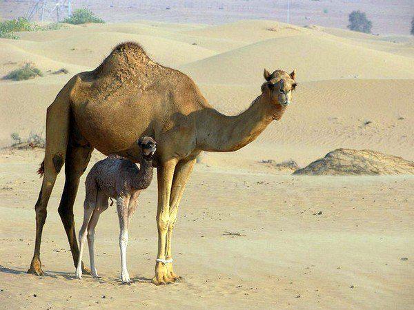 Camel and baby, Jordan