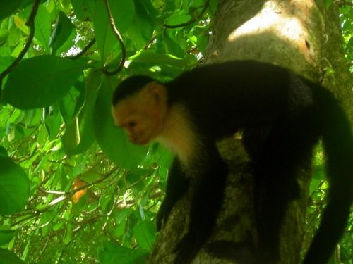 "A Capuchin Monkey in Costa Rica (""My Name Is Not Marcel"")."