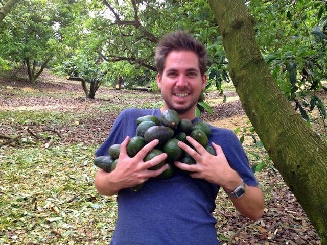 avocado farming