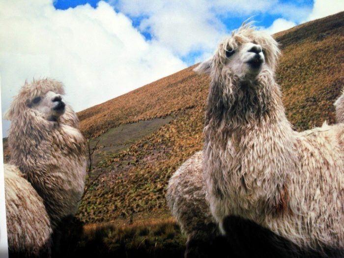 Llamas in Ecuador!
