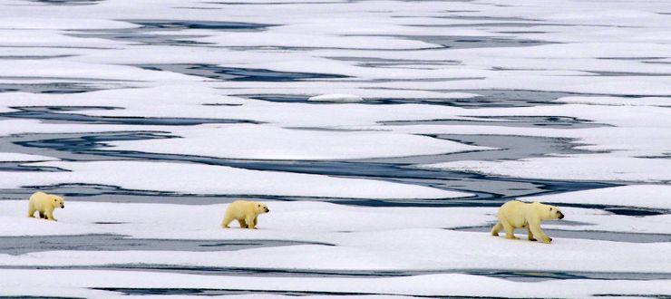 A polar bear with two cubs!