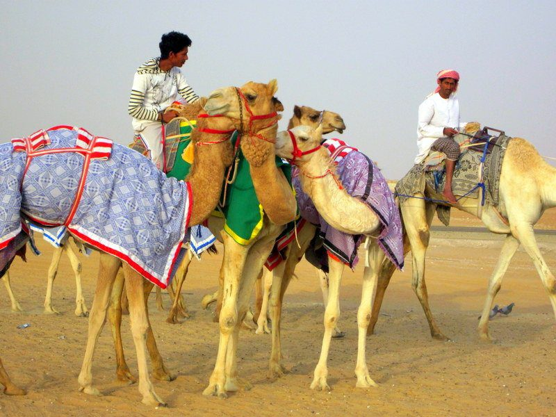 Race camels in the United Arab Emirates!