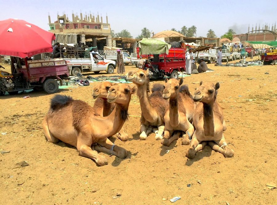 Resting camels Yves spotted in Egypt.