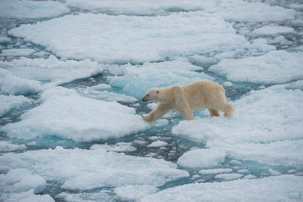 Arctic Expedition wildlife in action: Polar bear ice walking!