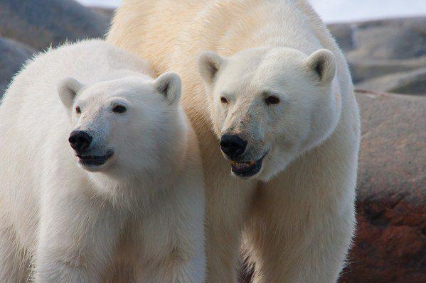 Arctic Polar Bears!