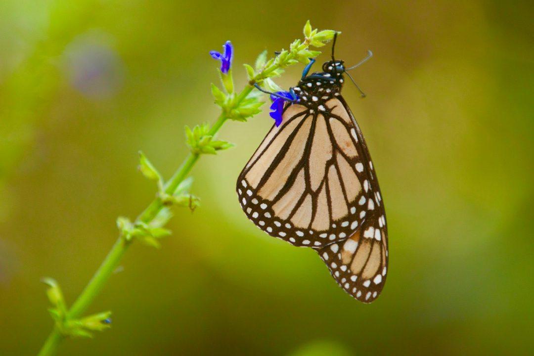 Monarch butterflies are stunningly beautiful.