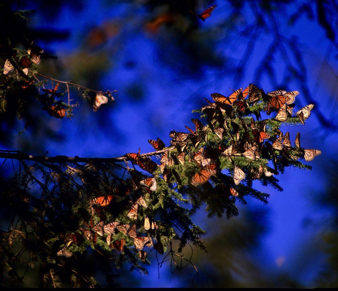 A tree branch embraced by butterflies.