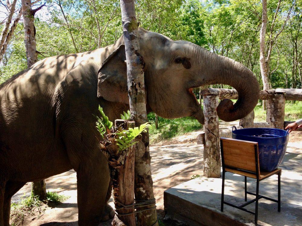 An elephant eating in Phuket, Thailand.