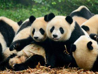 Pandas in Beijing, China!